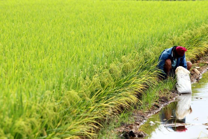 在适耕庄,雪兰莪,马来西亚的稻田 库存图片