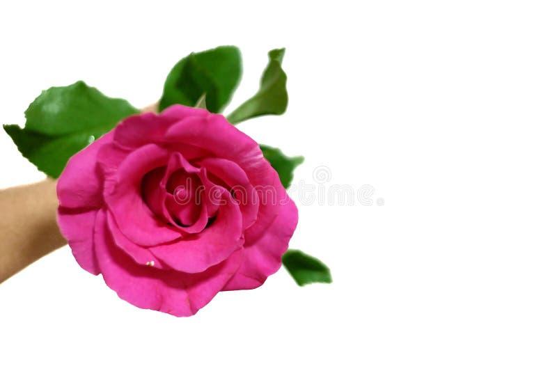 在选择聚焦甜桃红色上升了与被弄脏的绿色叶子和一只女性举行的手 免版税库存照片