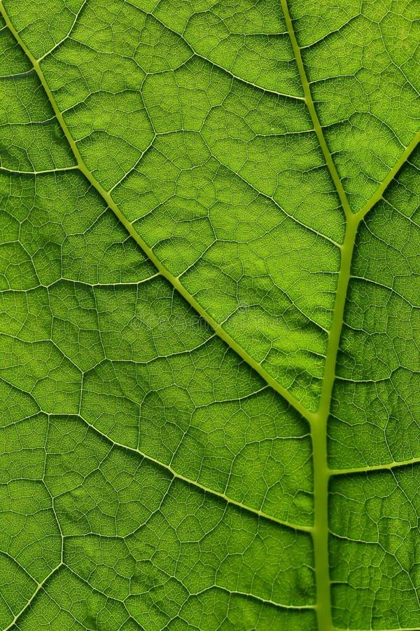 在透亮绿色叶子的宏指令有在结构的好的细节的在阳光下 图库摄影