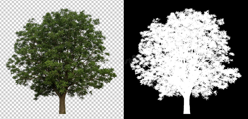在透明图片背景的唯一树与裁减路线,与裁减路线的唯一树和在黑色的阿尔法通道 免版税库存照片