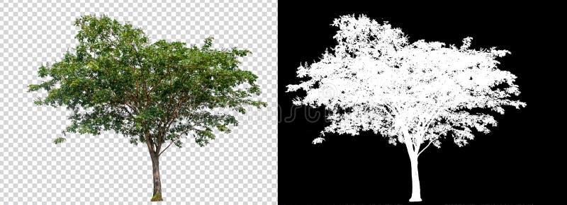 在透明图片背景的唯一树与裁减路线,与裁减路线的唯一树和在黑色的阿尔法通道 免版税库存图片