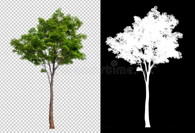 在透明图片背景的唯一树与裁减路线,与裁减路线的唯一树和在黑色的阿尔法通道 库存例证