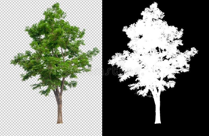 在透明图片背景的唯一树与裁减路线,与裁减路线的唯一树和在黑色的阿尔法通道 向量例证