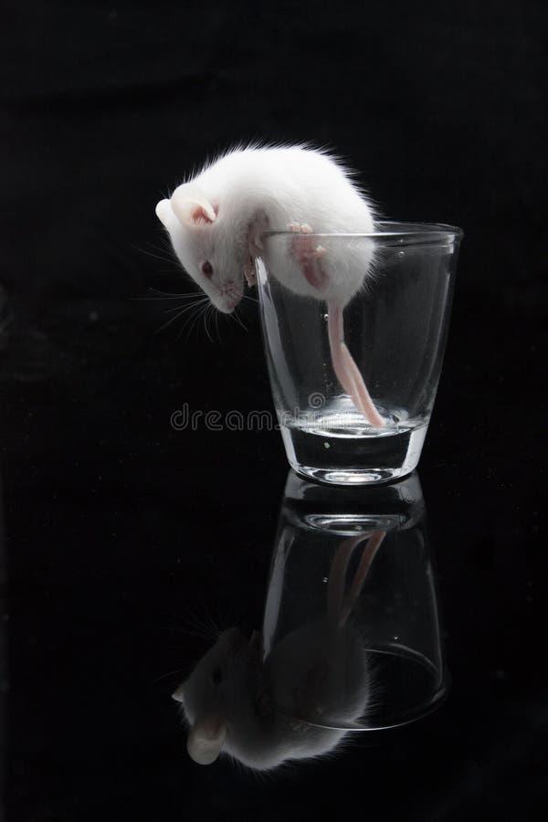 在透明玻璃的白色老鼠 免版税库存图片