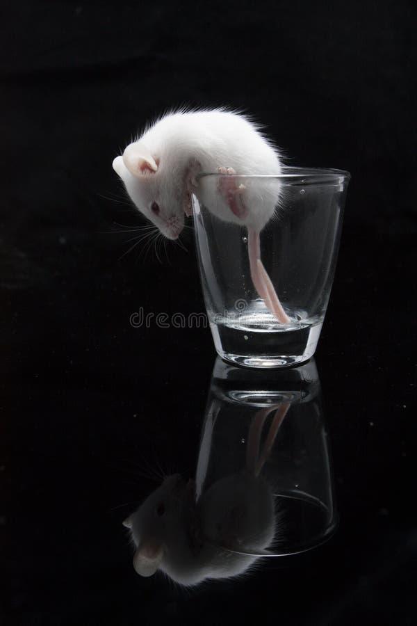 在透明玻璃的白色老鼠 库存照片