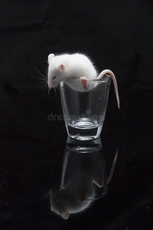 在透明玻璃的白色老鼠 库存图片