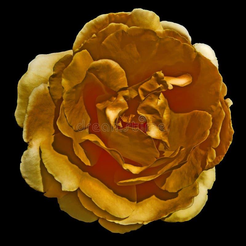 在透明背景隔绝的桔子玫瑰 库存图片