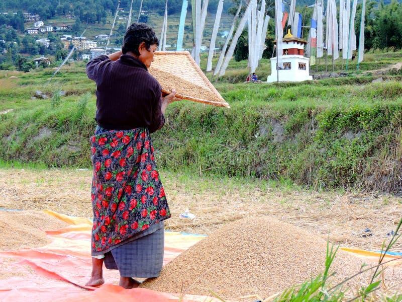 在途中工作在米领域Chimi Lhakhang,不丹的妇女 库存照片