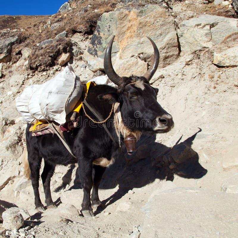 在途中的黑牦牛对珠穆琅玛营地-尼泊尔 免版税库存图片