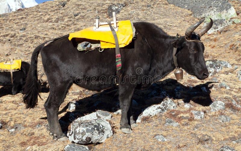 在途中的黑牦牛对珠穆琅玛营地-尼泊尔 库存照片