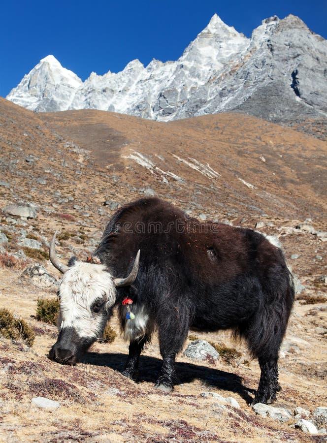 在途中的黑白牦牛对珠穆琅玛营地 图库摄影