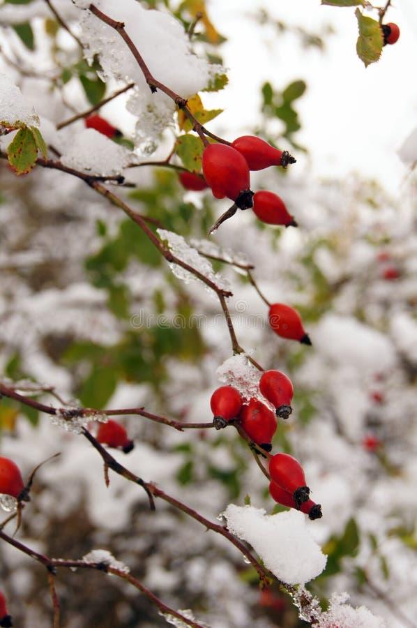 在通配之下的臀部红色玫瑰色雪 库存图片