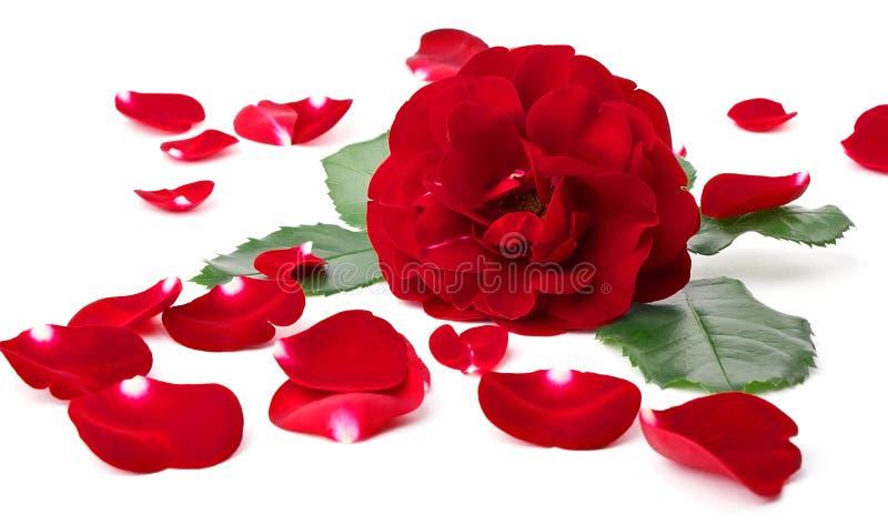 在通配瓣的玫瑰附近 库存图片