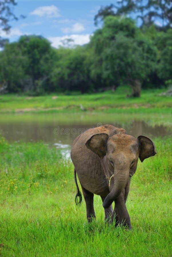 在通配的大象 免版税库存图片