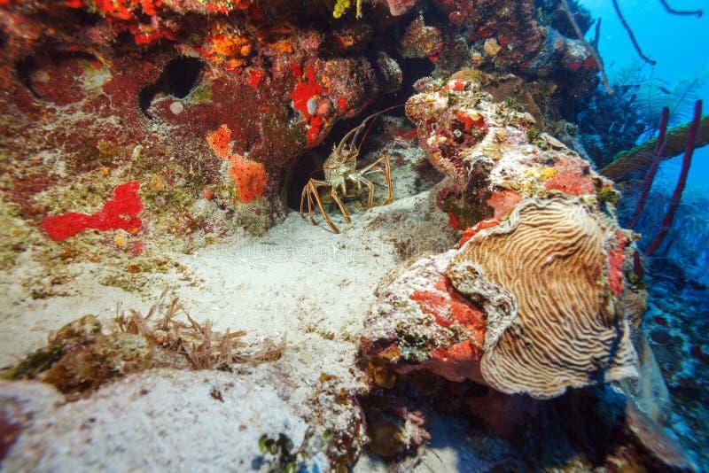 在通配的红色龙虾,缓慢地Cayo,古巴 库存照片
