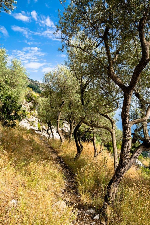 在道路的橄榄树在阿马尔菲海岸,意大利,在波西塔诺附近 库存图片