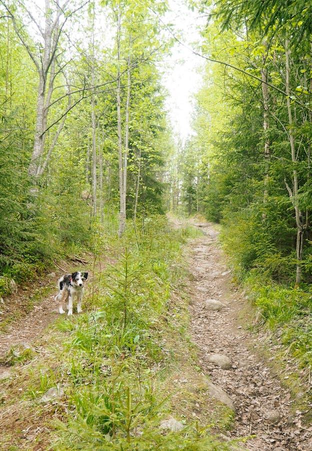 在道路的芬兰森林里尾随等待 免版税库存照片