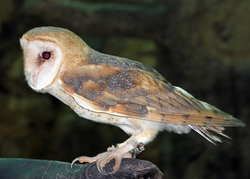 在那不勒斯动物园的一只谷仓猫头鹰 免版税库存照片