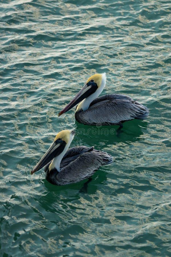 在那不勒斯海滩的两鹈鹕 免版税库存照片