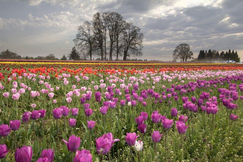 在郁金香农场的春天 库存照片
