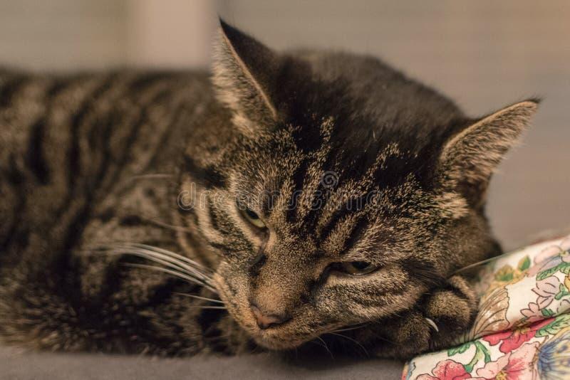 在醒之后的轻松的逗人喜爱和镶边猫 免版税库存照片