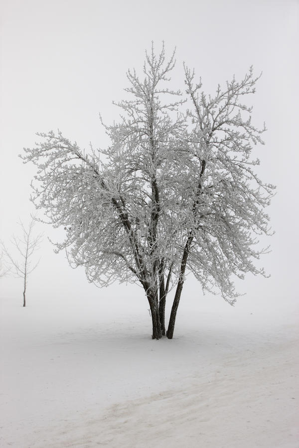 在重雾的结构树在冬天。 免版税库存图片