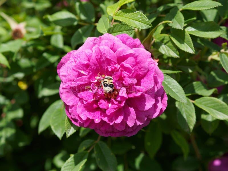 在野玫瑰果的蜂 图库摄影