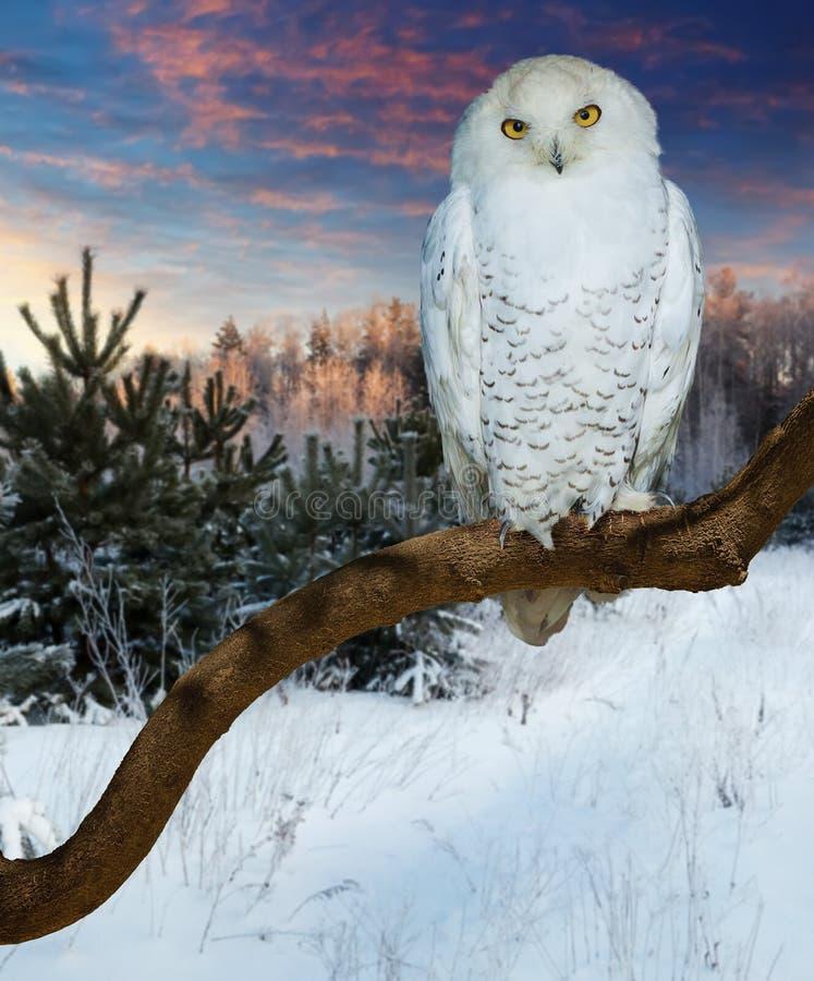 在野生性的坐的多雪的猫头鹰 免版税库存照片