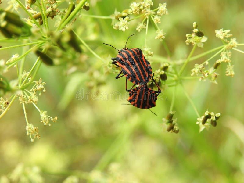 在野生植物,立陶宛的两个镶边臭虫 库存图片