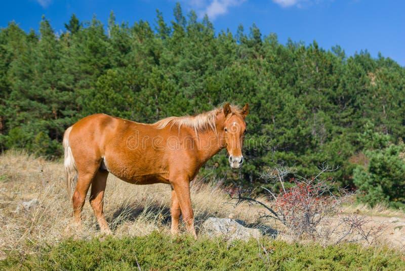 在野生狗玫瑰附近灌木的鞑靼人的栗子马在秋季季节的 库存照片