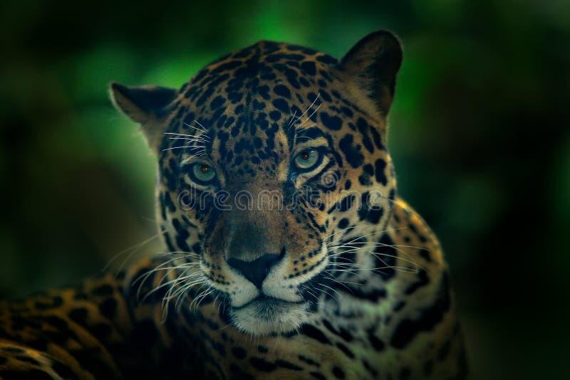 在野生猫黑暗的森林细节头画象的捷豹汽车  大动物在自然栖所 捷豹汽车在哥斯达黎加热带森林克洛 免版税图库摄影