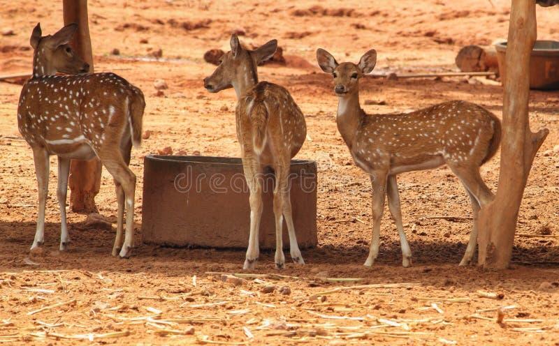 在野生生物保护区的鹿 免版税图库摄影