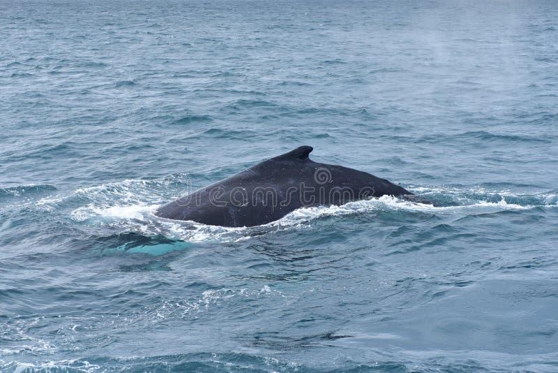 在野生生物的驼背鲸 库存照片