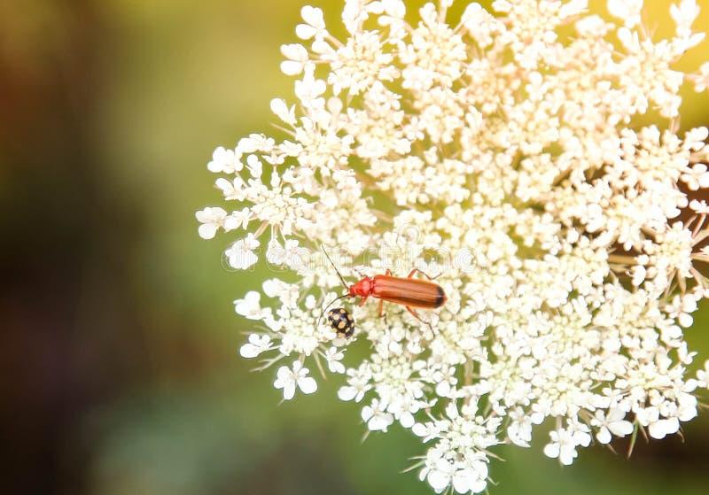 在野花的两个臭虫 库存图片