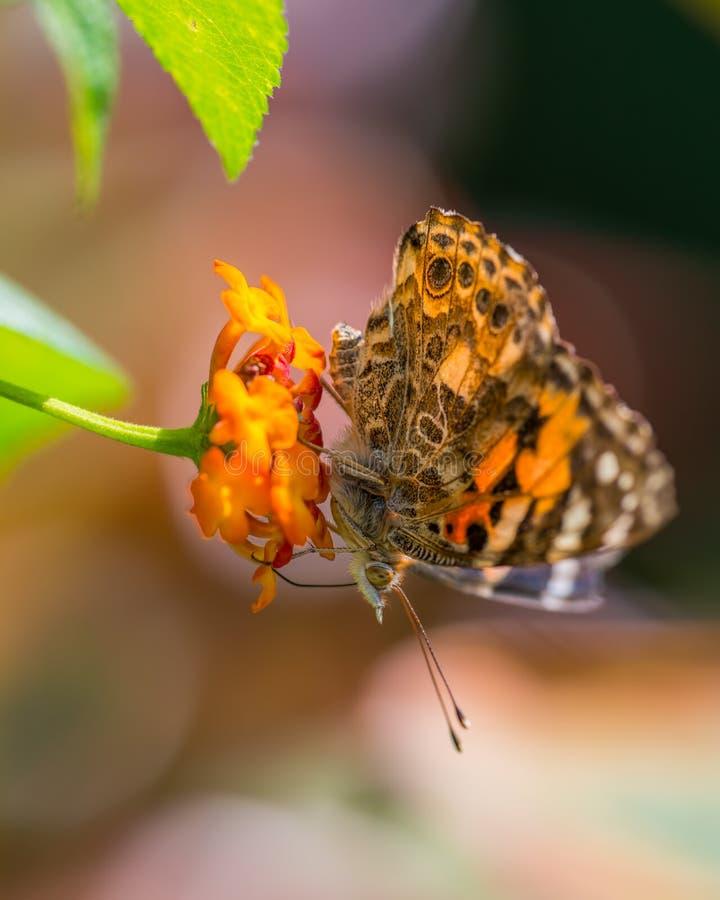 在野花的极端宏观详细的特写镜头被绘的夫人蝴蝶哺养/授粉-在明尼苏达 免版税库存图片