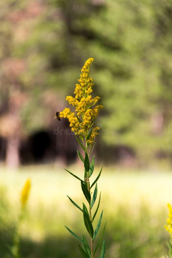 在野花的蜂 库存照片