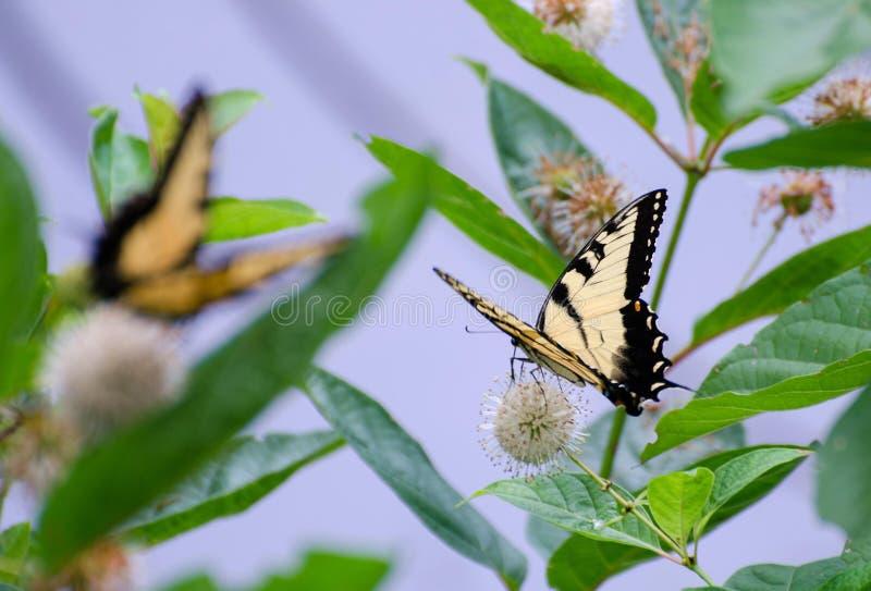 在野花的Swallowtail蝴蝶 库存照片