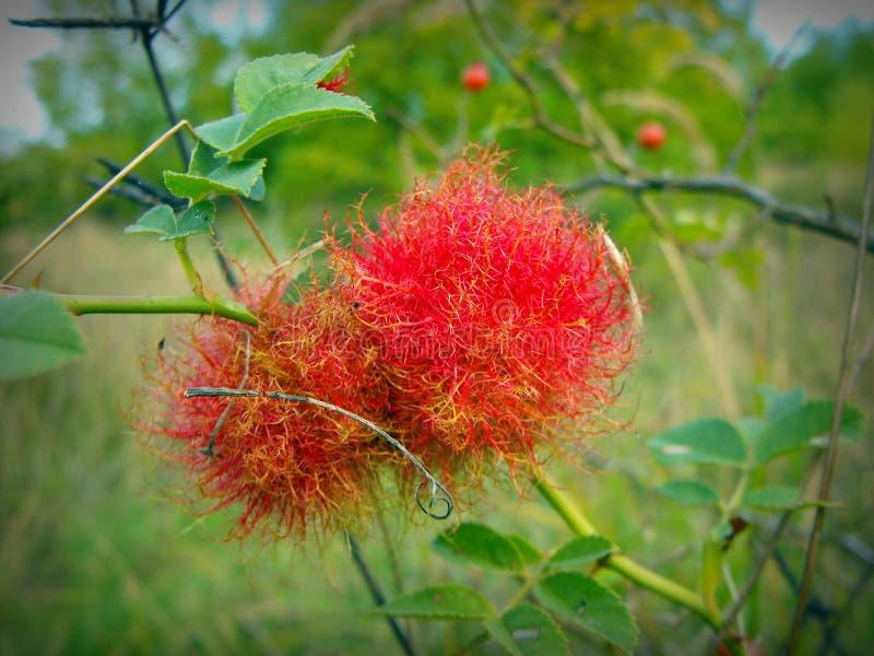 在野蔷薇的罗斯bedeguar胆汁 库存图片