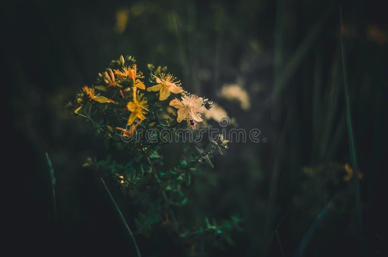 在金丝桃属植物黄色花的蜜蜂飞行  从野花收集春天花蜜 绿色黑暗的背景 大量室f 免版税库存图片