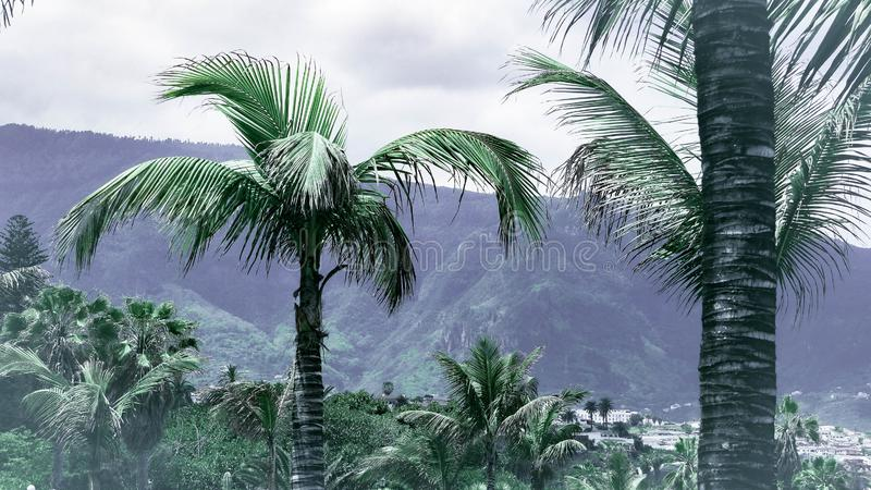 在金丝雀的绿色棕榈树 库存照片