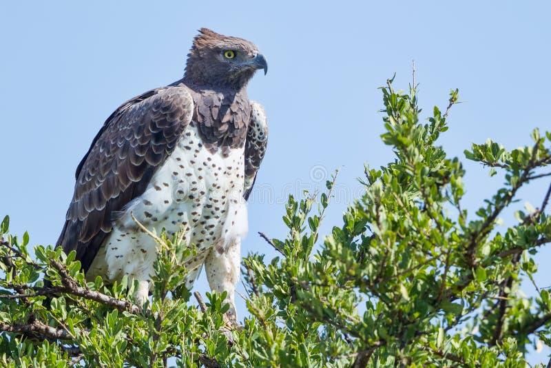 在金合欢栖息的军事老鹰 免版税库存图片