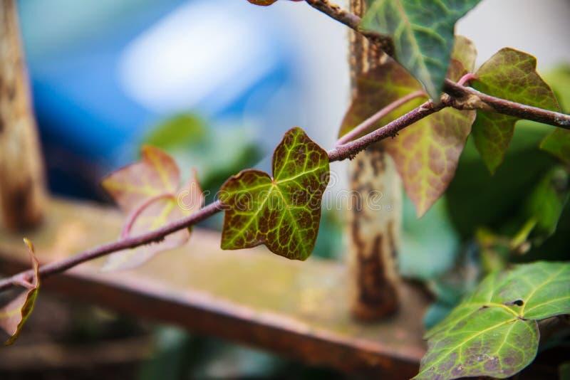 在金属篱芭的五颜六色的常春藤叶子 免版税图库摄影
