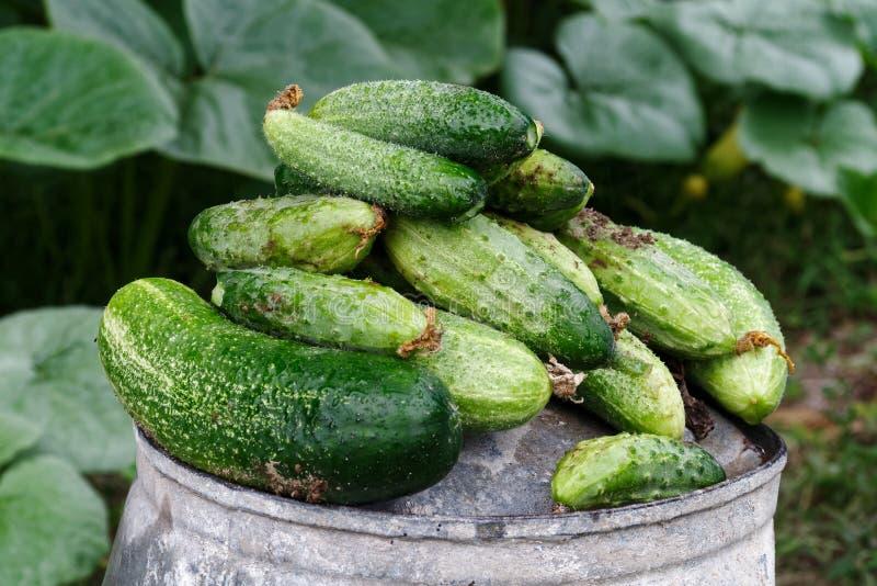 在金属顶部的新近地被收获的腌制的黄瓜在庭院里用桶提 免版税库存照片