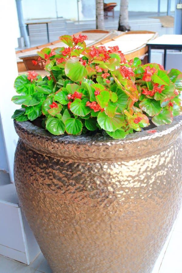 在金罐的秋海棠 免版税库存图片