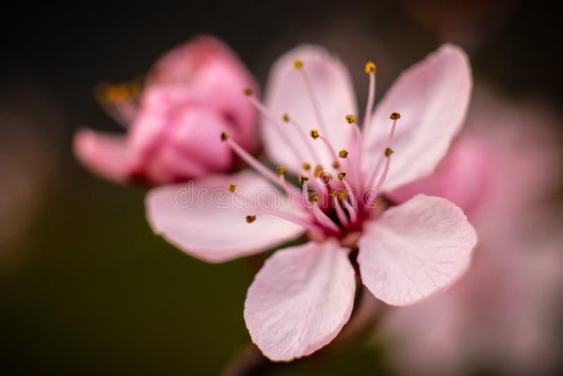 在金银细丝工的桃红色樱花的特写镜头 免版税库存图片