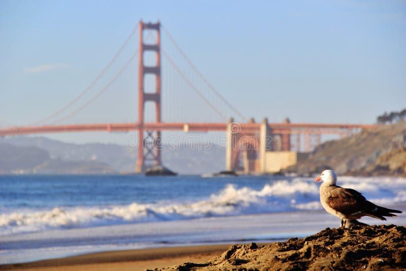 在金门大桥旧金山美国的海鸥 免版税库存图片