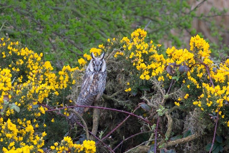 在金雀花和荆棘中被栖息的长耳朵猫头鹰 图库摄影