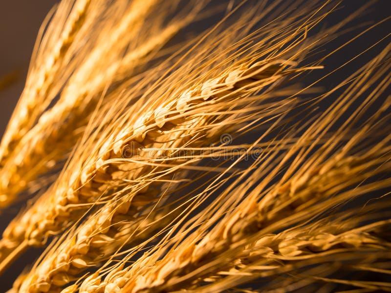 在金黄光的麦子耳朵 免版税库存图片