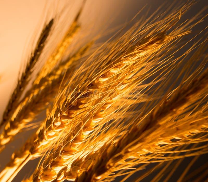 在金黄光的麦子耳朵 免版税库存照片