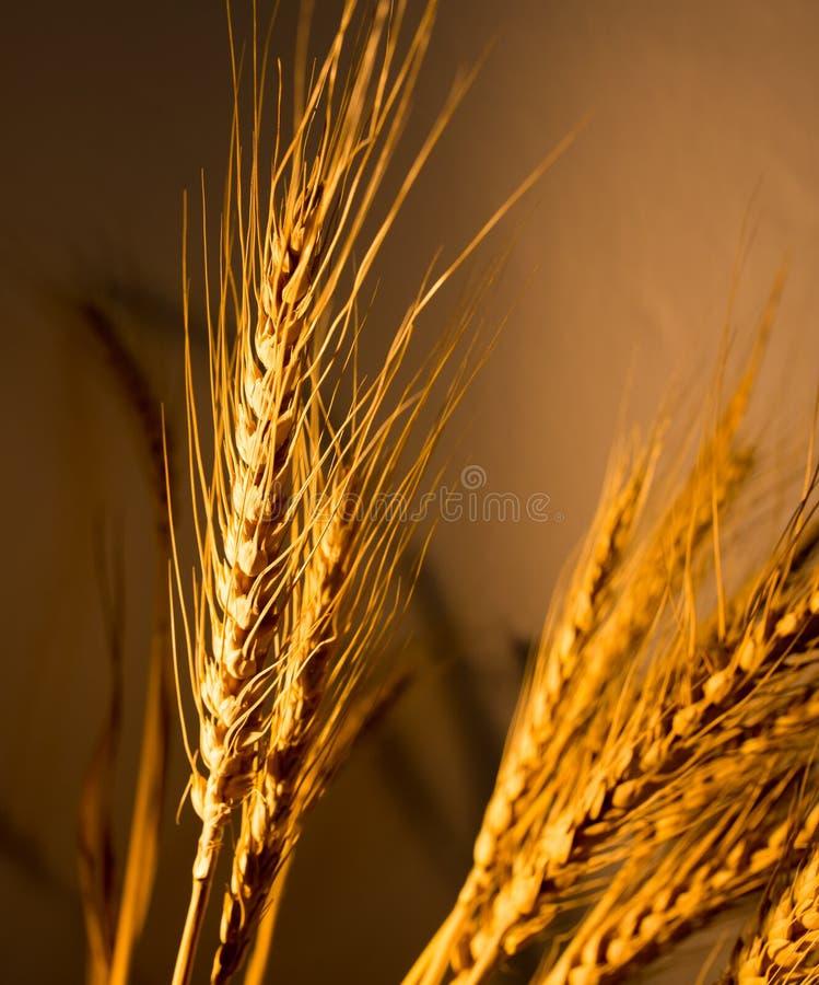 在金黄光的麦子耳朵 库存图片